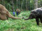 """สื่อญี่ปุ่นตีข่าว """"ช้างไทย-ควาญช้าง""""อนาคตมืดมน รอความหวังเปิดประเทศรับนักท่องเที่ยว"""